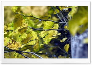 Yellow Linden Leaves