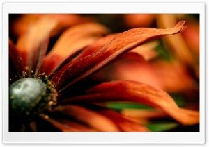 Rudbeckia Macro