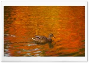 Duck, Lake, Autumn