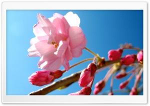 Pink Cherry Buds