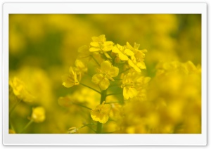 Rape Blossoms Close-up