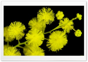 Acacia Baileyana Flowers