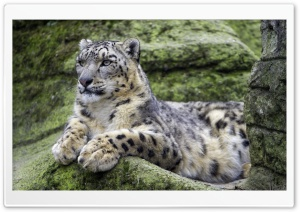 Snow Leopard knows how to Pose
