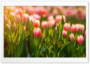 Springtime Tulips Flowers