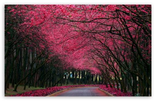 Download Blooming Trees Alley UltraHD Wallpaper