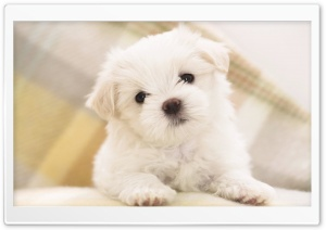 White Fluffy Puppy