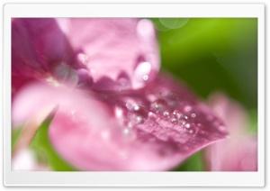Hydrangea Waterdrops Macro