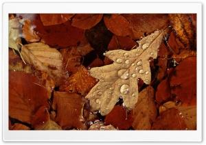 English Oak Leaf In Pond...