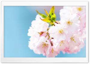 Cute Cherry Blossom