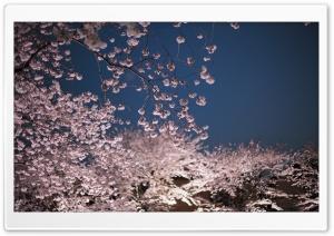 Cherry Blossoms Night