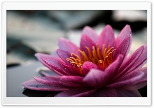 Water Lily Flower Close-up