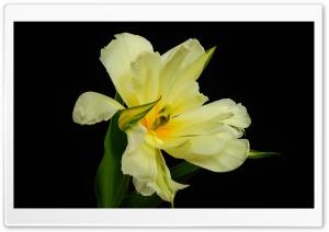 Species Tulip