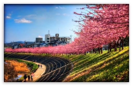 Download Sakura Along The River UltraHD Wallpaper