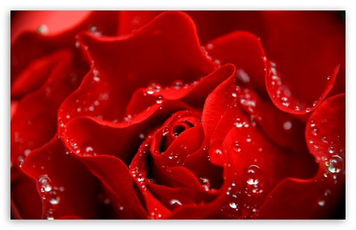 Download Love is Like a Red Rose UltraHD Wallpaper