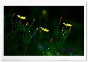 Oriental Hawksbeard Flowers