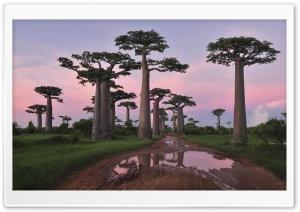 Grandidier's Baobab...