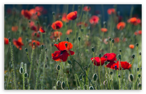 Download Red Poppies UltraHD Wallpaper