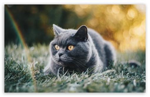 Download Blue British Shorthair Cat UltraHD Wallpaper