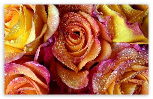 Download Yellow Pink Roses UltraHD Wallpaper