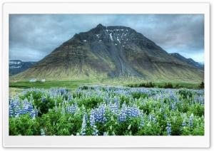 Lupin Flowers Field