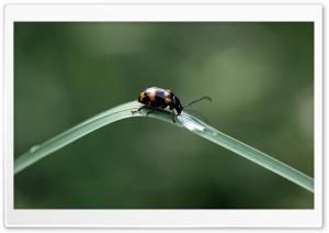 Black Beetles With Orange Spots