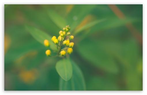 Download Yellow Buds UltraHD Wallpaper
