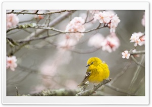 Small Yellow Bird, Springtime