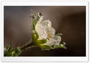 Strawberry Flower, Water...