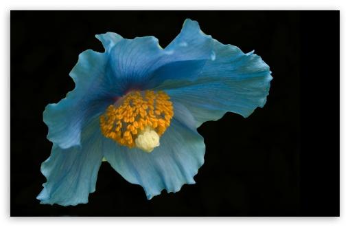 Download Blue Flower, Macro UltraHD Wallpaper