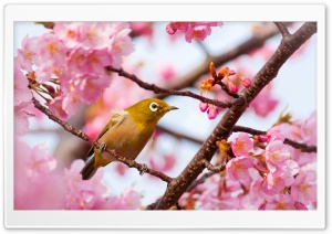 Yellow Bird on a Cherry...