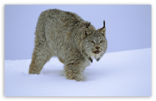Download Stalking Canada Lynx Idaho UltraHD Wallpaper
