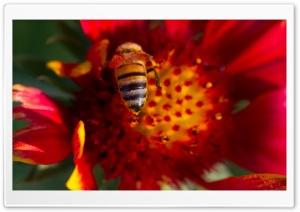 Bee On A Gaillardia Flower