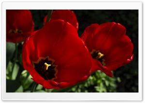 Dark Red Tulips Flowers