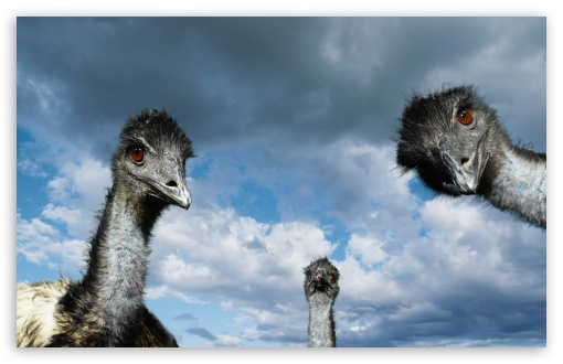 Download Funny Ostriches UltraHD Wallpaper