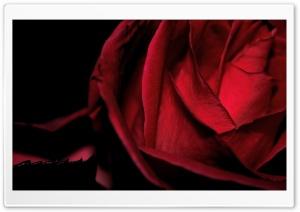 Scarlet Rose, Macro