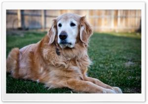 Handsome Golden Retriever
