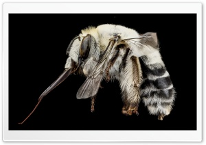 A Solitary White Bee,...
