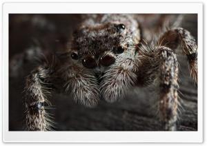 Jumping Spider (Platycryptus...
