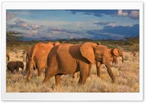 African Elephants Samburu...