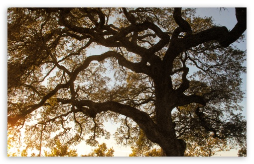 Download Oak UltraHD Wallpaper