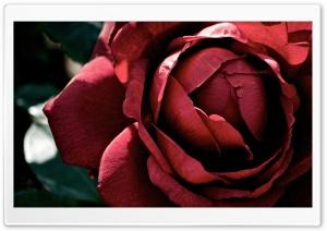 Beautiful Dark Red Rose