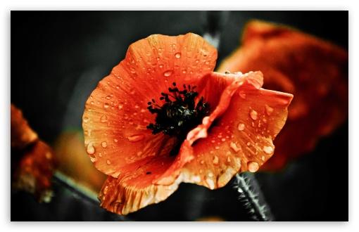 Download Red Poppy Flower, Raindrops, Macro, Dark UltraHD Wallpaper