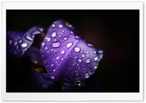 Dew On Purple Petals