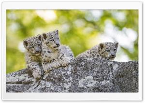 Snow Leopard Cubs Wild Animals