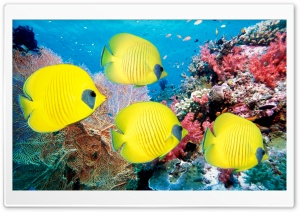 Yellow Butterfly Fish