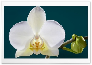 White Orchid Flower, Buds, Macro