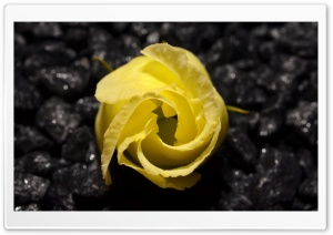 Yellow Flower Black Background