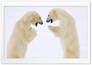 Male Bears Sparring Hudson...