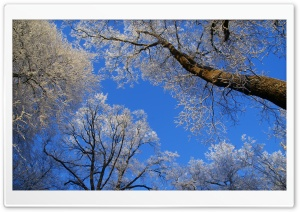 White Trees Against A Blue Sky