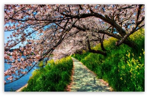 Download Cherry Blossom Tunnel UltraHD Wallpaper